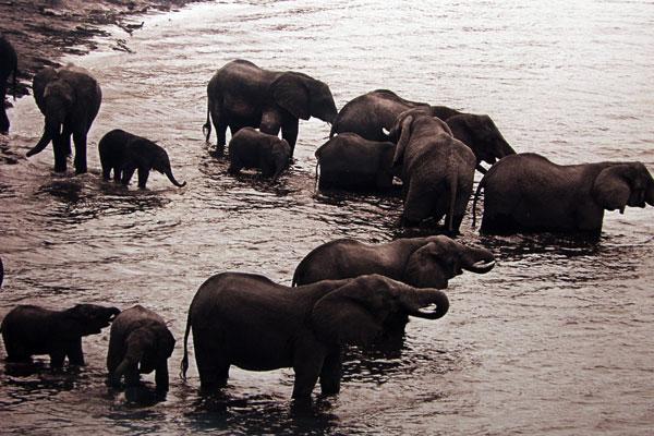 купающиеся слоны